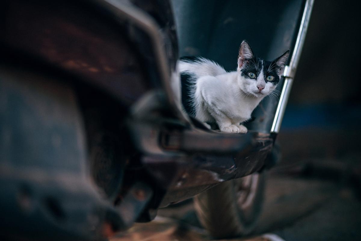 Pisicile sunt carnivore, doar 4 din 5 stăpâni știu asta